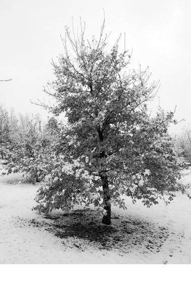 truffle-oak-400
